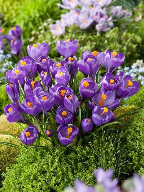 Krokus (Crocus) 'Flower Record'