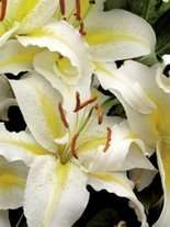 Lilia (Lilium) 'Chill Out'