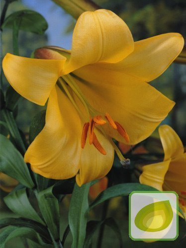 Lilie (Lilium) Golden Splendour