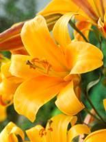 Lilie (Lilium) Orange Planet