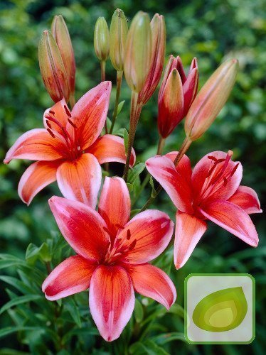 Lilie (Lilium) Red Electric