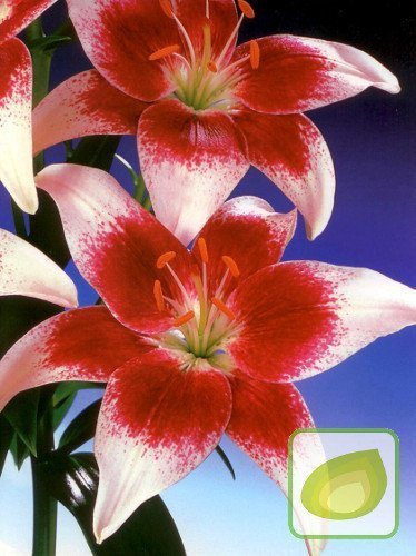 Lilie (Lilium) Strawberry and Cream