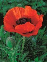 Mohn billig (Papaver) 'Marcus Perry'