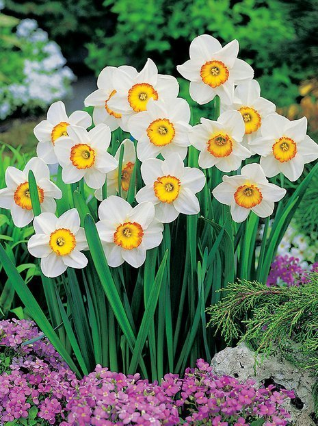 Narzisse (Narcissus) 'Flower Record' billig