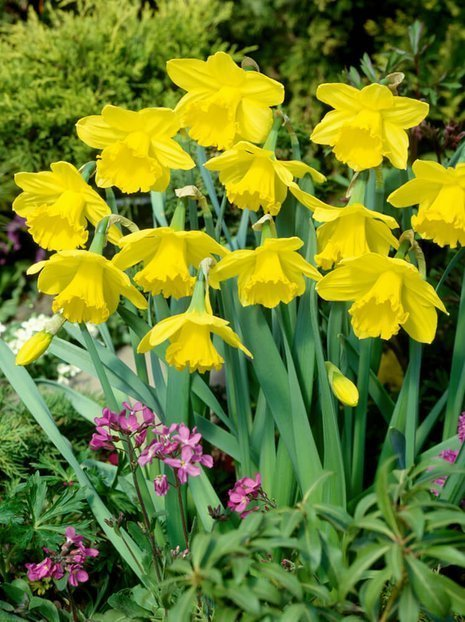 Narzisse (Narcissus) 'Gigantic Star'