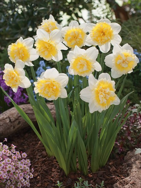 Narzisse (Narcissus) 'Ice King'