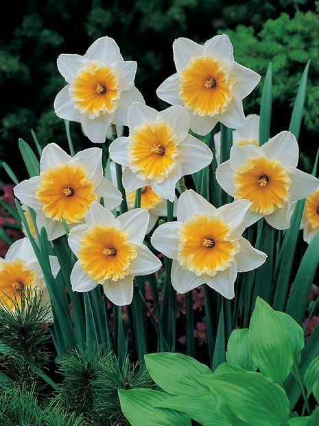 Narzisse (Narcissus) 'Slim Whitman'
