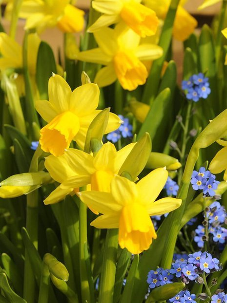 Narzisse (Narcissus) 'Tete a Tete'