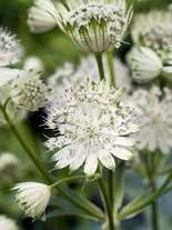 Sterndolde (Astrantia major alba)