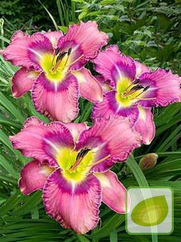 Taglilie (Hemerocallis) Mildred Mitchell