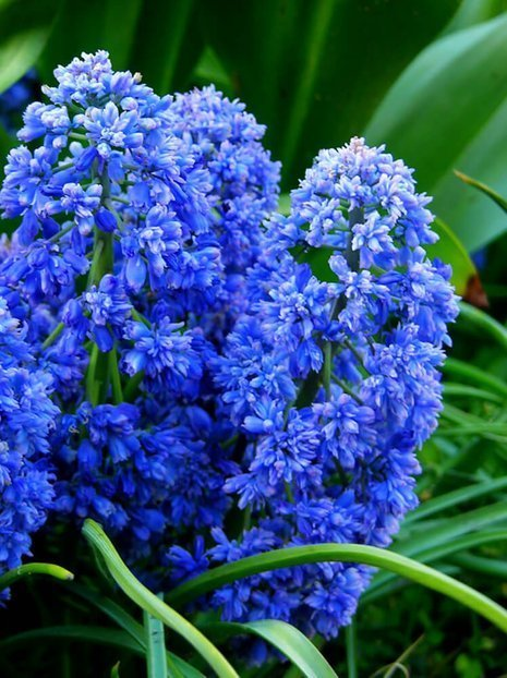 Traubenhyazinthe (Muscari) Blue Spike