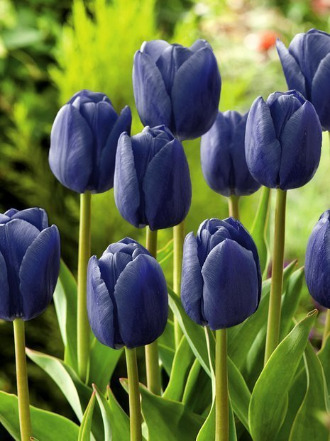 Tulpe (Tulipa) 'Blue Aimable'