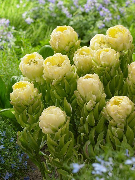 Tulpe (Tulipa) 'Brooklyn'