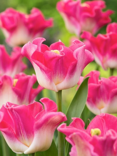 Tulpe (Tulipa) 'Crown of Destiny'