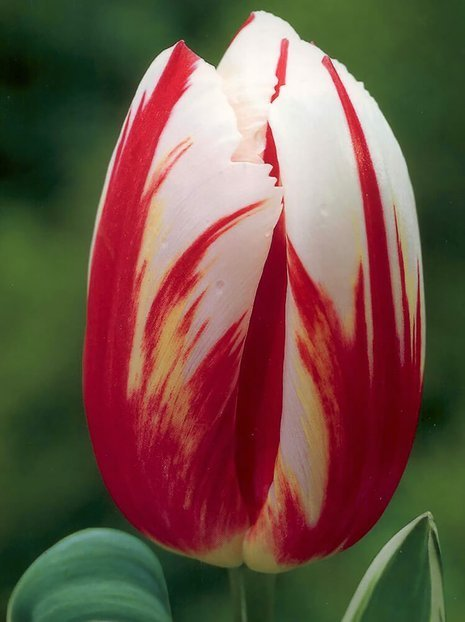 Tulpe (Tulipa) 'Happy Generation'