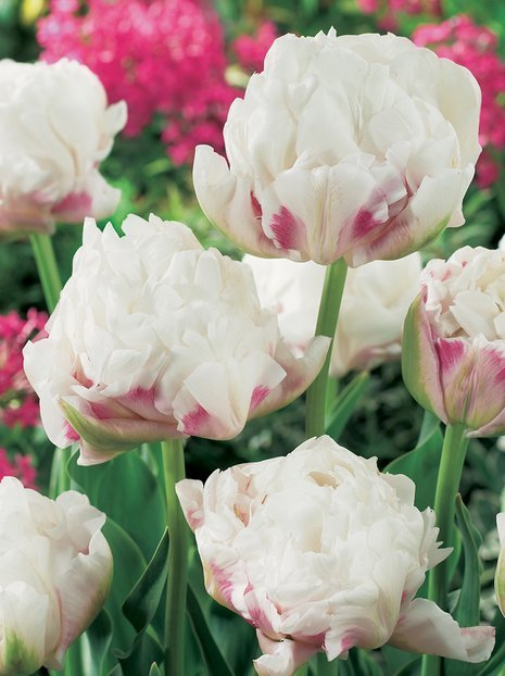 Tulpe (Tulipa) 'Ice Wonder'