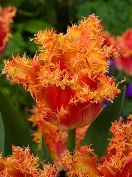 Tulpe (Tulipa) 'Real Time'