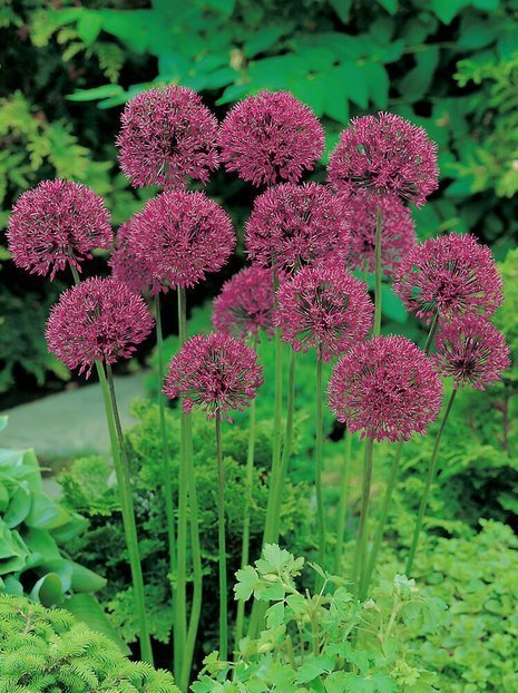 Zierlauch (Allium) 'Purple Sensation'