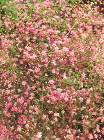 Gipskraut (Gypsophylla pacifica) 'Pink'