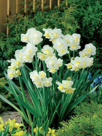 Narzisse (Narcissus) 'Cheerfulness'